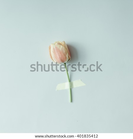 Tulip flower taped to bright background. Minimal concept. #401835412