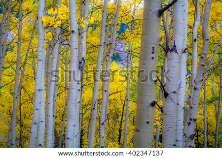 Yellow Aspen Grove near Cripple Creek Colorado #402347137