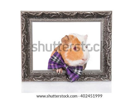 Guinea pig dressed in a bow tie sitting in a photo frame