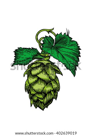 Drawing of fresh green cone and leaves of hops on the white #402639019