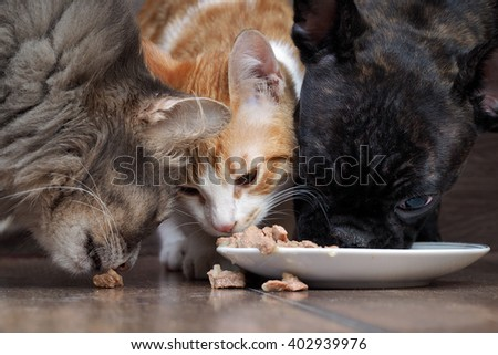 dog and two cats eating together animal feed. Snouts large. Dog French Bulldog, black. Cat large, gray, and a little white cat. Funny, cute animals. snouts large #402939976
