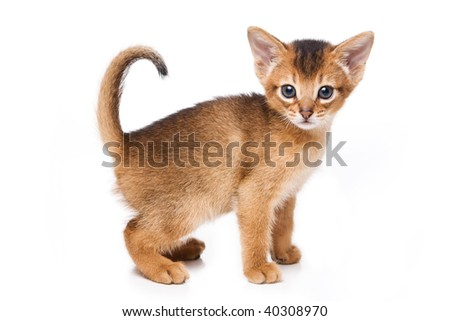 Abyssinian kitten on white background Royalty-Free Stock Photo #40308970
