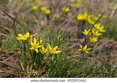 Yellow Star-of-Bethlehem (Gagea lutea) flowers in the spring glade #403091662