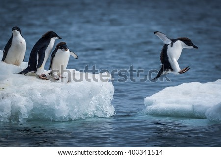 Adelie penguin jumping between two ice floes #403341514