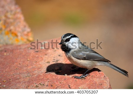 Mountain Chickadee Standing on a Red Rock on a Sunny Day #403705207