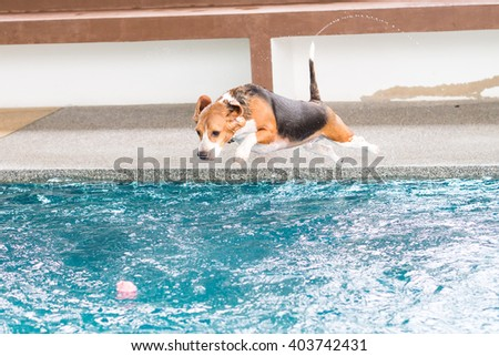 Young beagle dog jumping in to the swimming pool #403742431