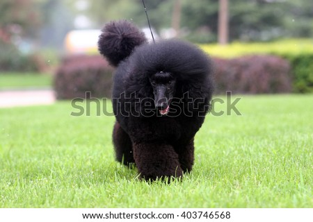 The  purebred big poodle dog portrait  in outdoors #403746568