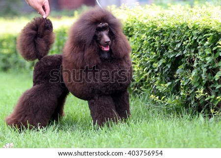 The  purebred big poodle dog portrait  in outdoors #403756954