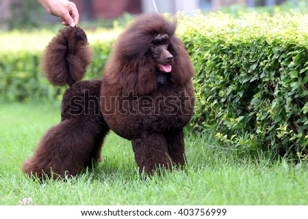 The  purebred big poodle dog portrait  in outdoors #403756999