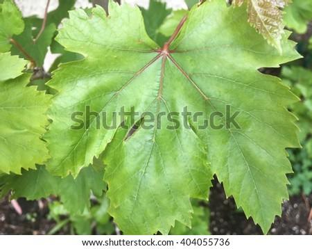 Green Grape Leaf #404055736