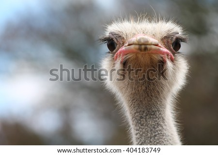 ostrich bird head and neck front portrait in the park #404183749