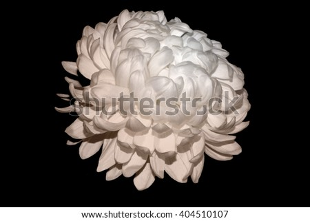White Chrysanthemum Touched By Soft Sepia Light 1. #404510107
