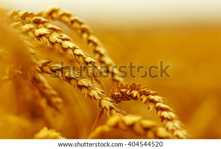Wheat closeup. Wheat field. Background of ripening ears of wheat. Harvest and food concept #404544520
