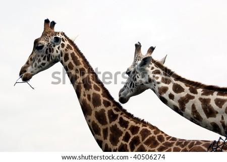 heads of giraffes couple #40506274