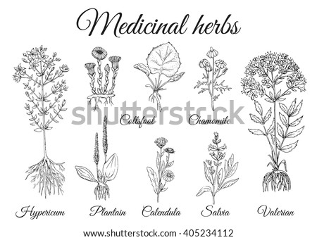 Set of medicinal pharmacy herbs. Set vector vintage wild healing flowers. Black and white hand drawing botanical illustration. Engravings style. #405234112