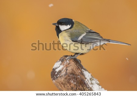 Great tit (Parus major) sitting on a branch with Snowfall in the yellow / orange background in the garden, Germany #405265843
