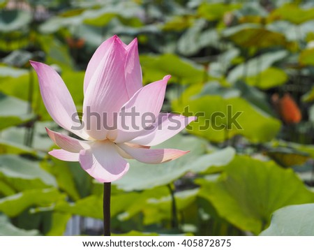Blooming pink lotus waterlily with green leaves #405872875