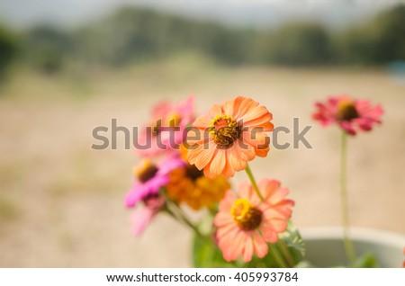 vintage zinnia flowers #405993784