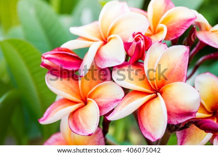 The beautiful Plumeria flowers close up background. #406075042