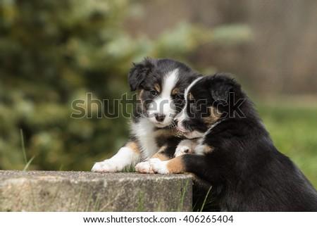 australian shepherd dog puppy 7 weeks old #406265404