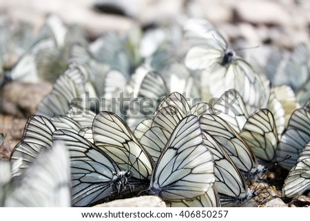 Black and white butterflies texture