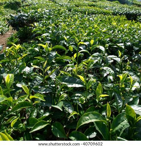 tea plantation in cameron highland,malaysia 12 #40709602