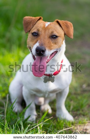 Jack Russell terrier and spring. #407643862