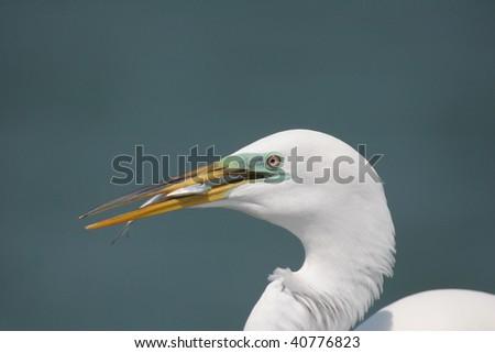 Great Egret Feeding on Fish #40776823