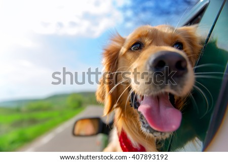 Golden Retriever Looking Out Of Car Window #407893192