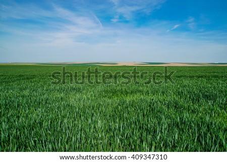 Green farm field of wheat #409347310