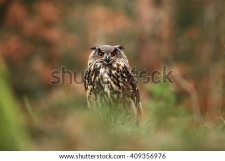 Bubo bubo. Owl. Photo was taken in the Czech Republic.