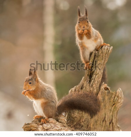 red squirrels standing on tree trunk  #409746052