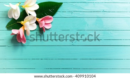 Background with white and pink tropical plumeria flowers on turquoise wooden background. Selective focus. Place for text. Toned image.