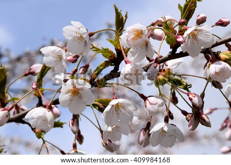 Cherry blossom #409984168