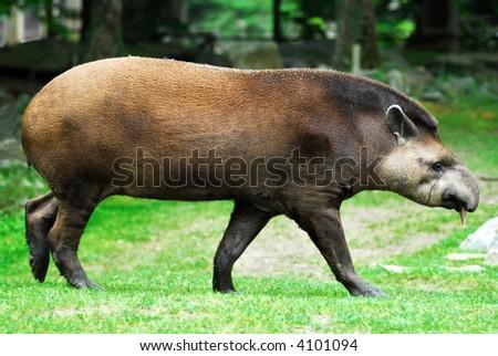 tapir walking #4101094