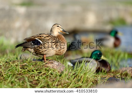 Birds and animals in wildlife concept. Amazing closeup view of brown mallard female duck on stone on sunlight with others swimming nearby in water of park river landscape. Duck family at spring time.
