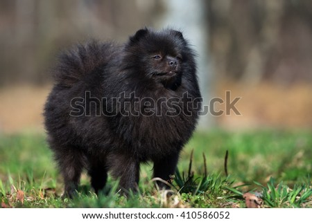 pomeranian spitz dog posing outdoors #410586052