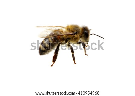 Bee isolated on the white #410954968