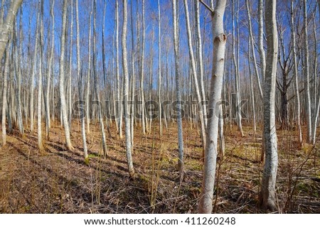 Aspen forest in the early spring in Estonia #411260248