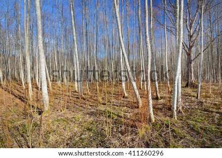 Aspen forest in the early spring in Estonia #411260296
