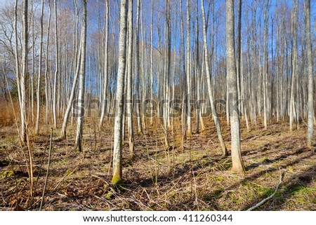Aspen forest in the early spring in Estonia #411260344