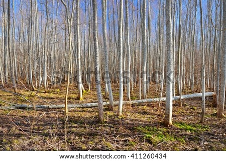 Aspen forest in the early spring in Estonia #411260434