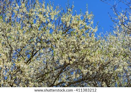 Plum blossoms #411383212