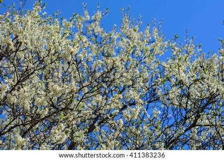 Plum blossoms #411383236