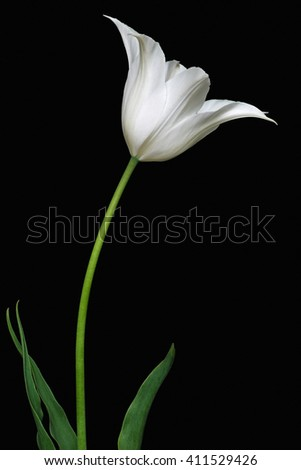 Tulip (Tulipa x gesneriana). Called Didier's Tulip and Garden Tulip also.Image of white flower isolated on black background #411529426