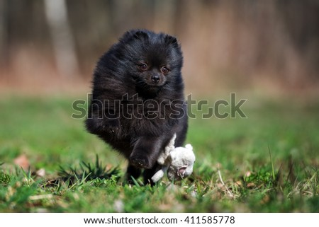 black pomeranian spitz dog running outdoors #411585778