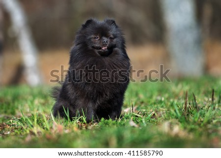 black pomeranian spitz dog sitting outdoors #411585790