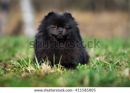 black spitz dog lying down outdoors #411585805
