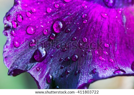 Purple flower petals with water drops on it. Close up #411803722