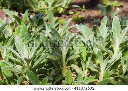 Young common mullein at sunny spring day  #411872632